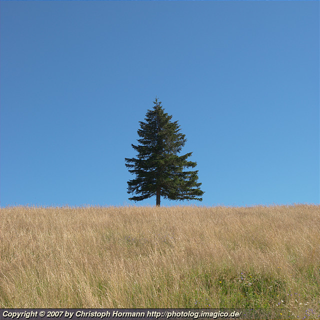 image 1: A solitary conifer at about 1300m altitude in the Black Forest