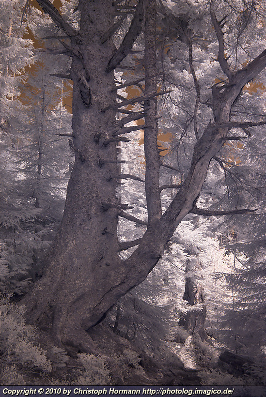 image 58: Old tree in the northern black forest - color infrared
