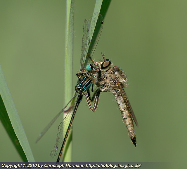 image 61: Eating and being eaten - dragonfly larva eating damselfly