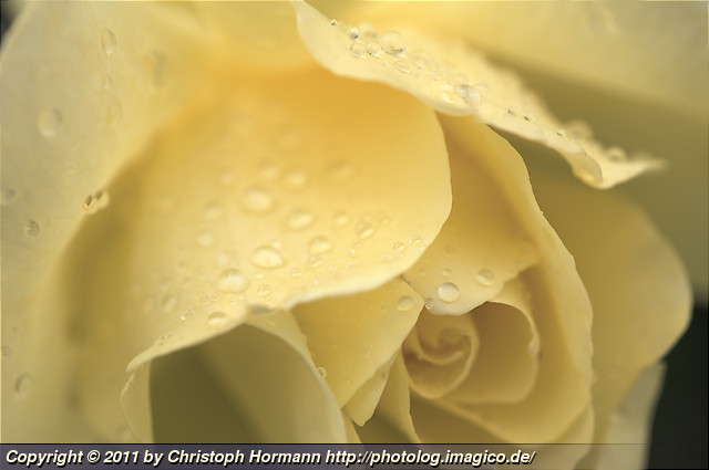 image 78: Rose with waterdrops