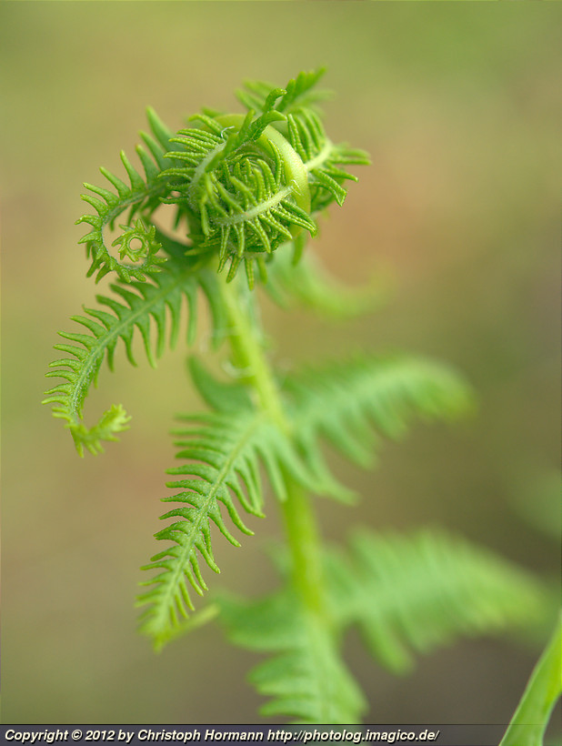 image 94: Curling fern