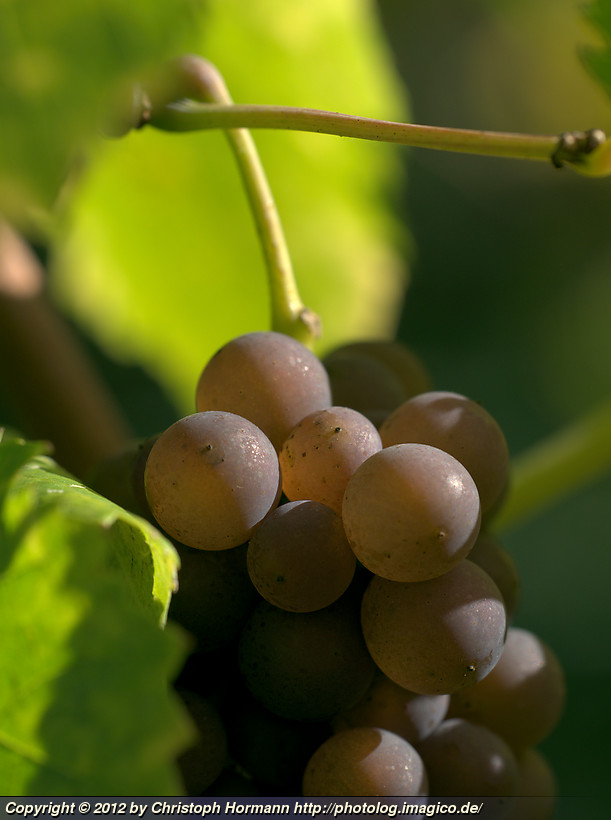 image 101: Grapes in the sun at the Tuniberg