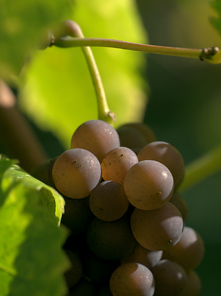 Grapes in the sun at the Tuniberg