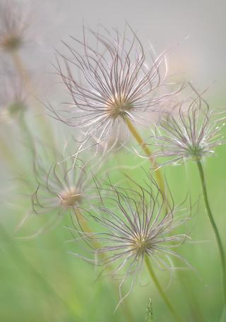 Pulsatilla seeds